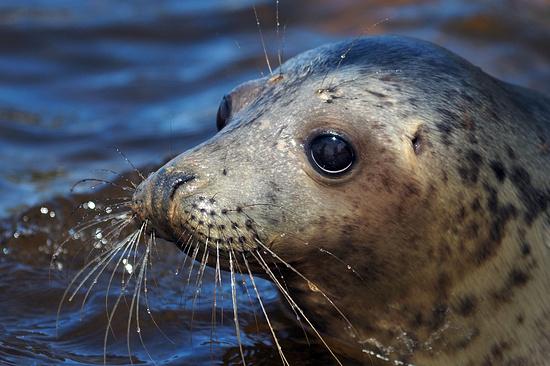 Неменее 300 тюленей погибли наКаспии из-за долгих штормов