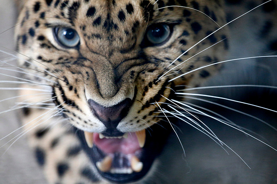 Вгорах Северной Осетии леопарды могут попасть вфотоловушки