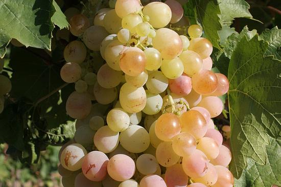 Дагестан поставит вСанкт-Петербург 2 тысячи тонн винограда иовощей